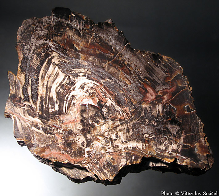 Polishad slab of wood fossilized by chalcedony from Studenec, Czech Republic